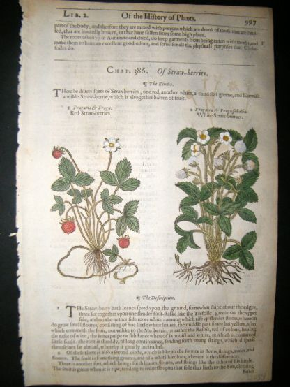 Gerards Herbal 1633 Hand Col Botanical Print. Strawberry, Fruit | Albion Prints